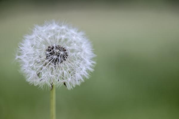 Magic Dandelion